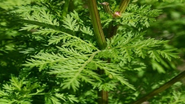 Amazing herb kills 98 of cancer cells in just 16 hours