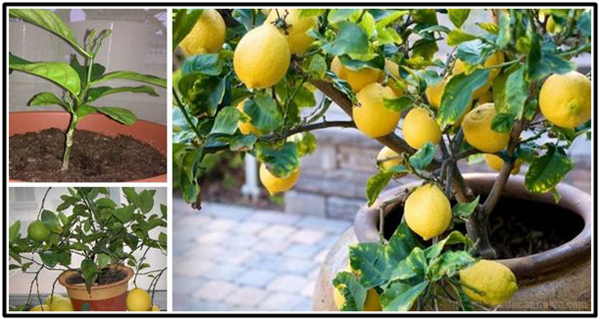 How to grow a lemon tree from seed easily in your own home for Malattie del limone in vaso